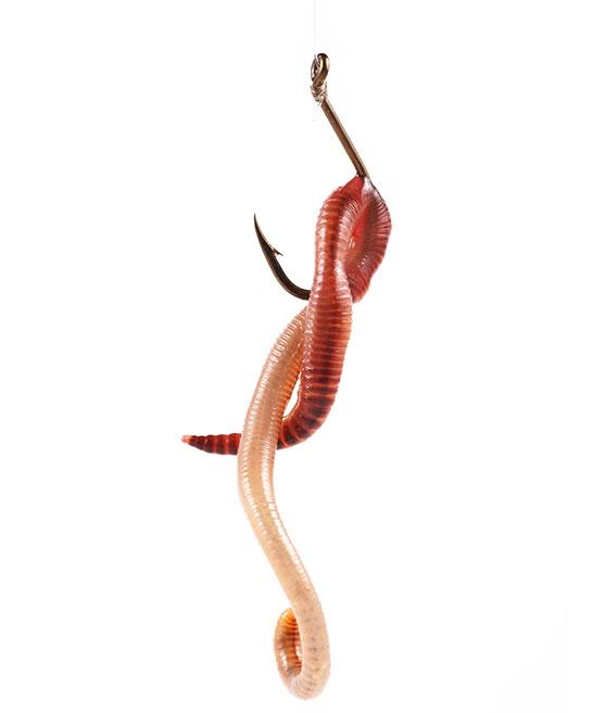 Dendrobena wormen mestpieren haak