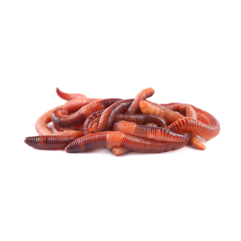 Dendrobena wormen mestpieren